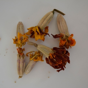 Dried marigold seeds and seed pods
