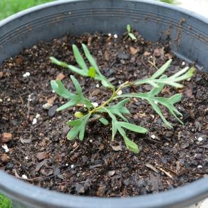 Self seeded grevillea